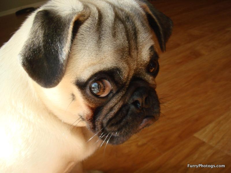 Pug Photography